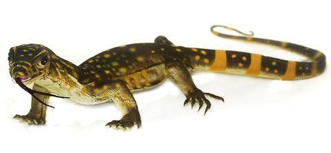 Mamejo Nature Baby Monitor Lizard